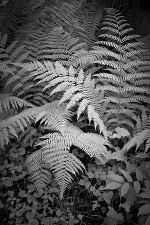 Ferns, Olympia NP